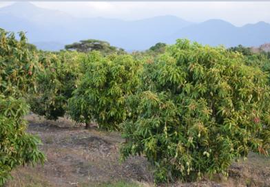 Plantación de Mangos